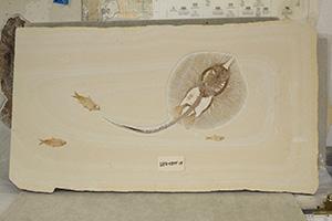 Greenriver Formation Eocene Stingray