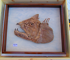 Cretaceous predatory fish Xiphactinus